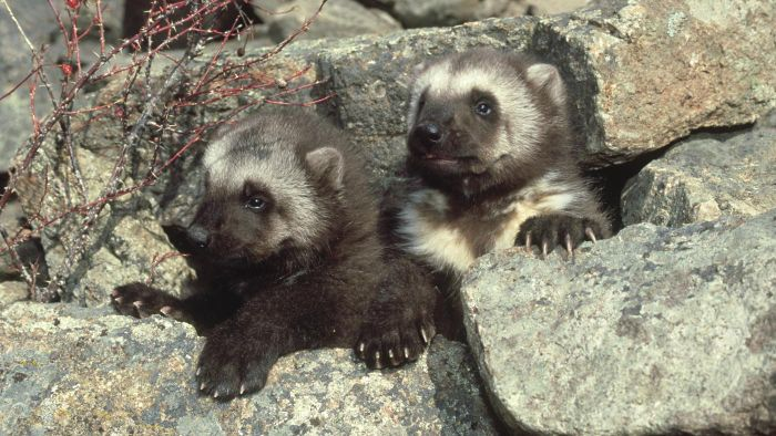 What Is the Name for a Baby Wolverine?