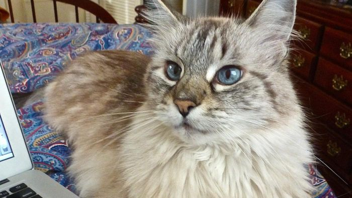 What is a Balinese cat?
