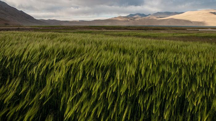 What Is Barley Grass Good For?