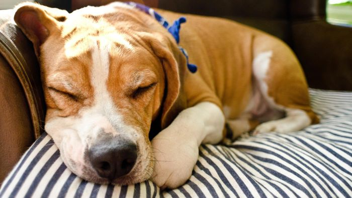 What Is a Beagle and Bulldog Mix?