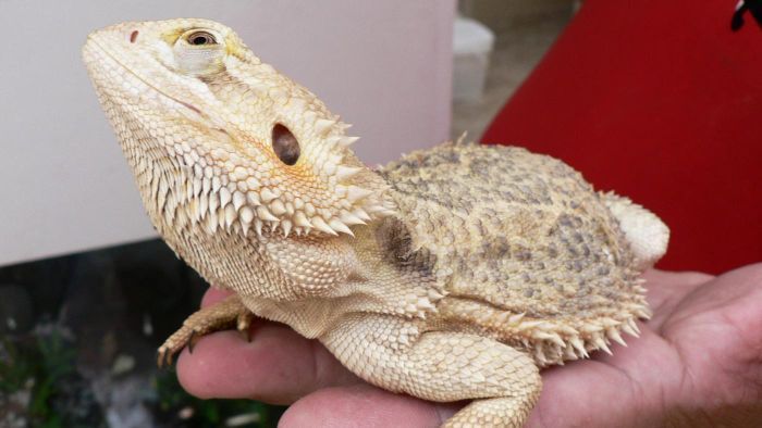 Why Is My Bearded Dragon Not Eating? | Reference.com