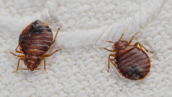 Are Bed Bugs Actual Animals?