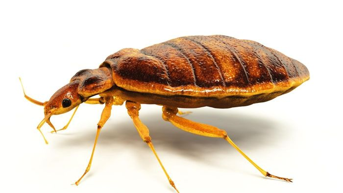 Do bed bugs carry diseases?
