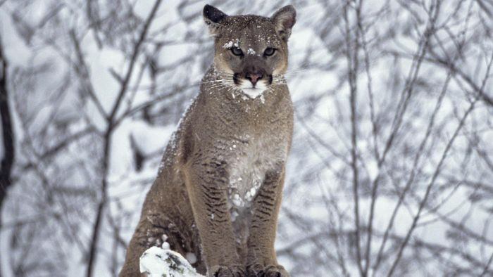 What is being done to save the cougars?