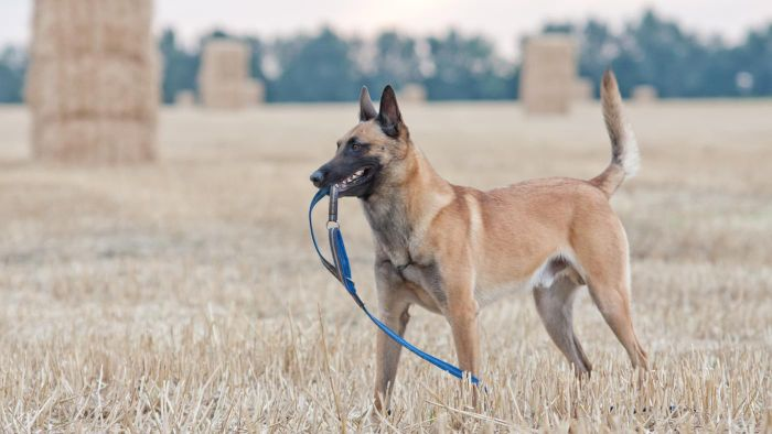 What Is a Belgian Malinois Mix?