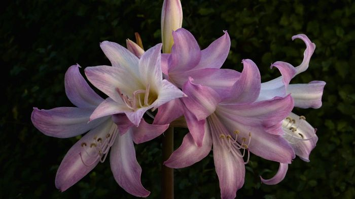 What does a belladonna lily look like?