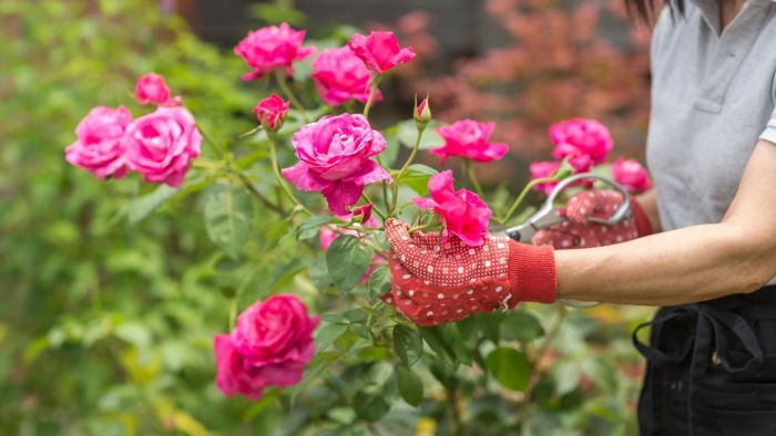 What are the benefits of pruning your rose bushes?