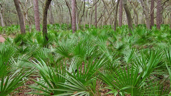 What are some benefits of saw palmetto?