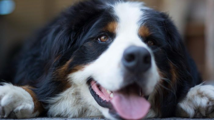 Is Bernese Mountain Dog Shedding a Problem?