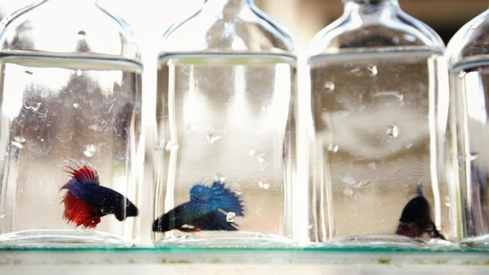 What Are the Betta Fish's Hunting Behaviors?