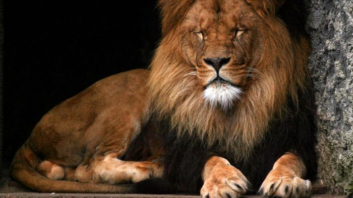How Big Is a Lion?