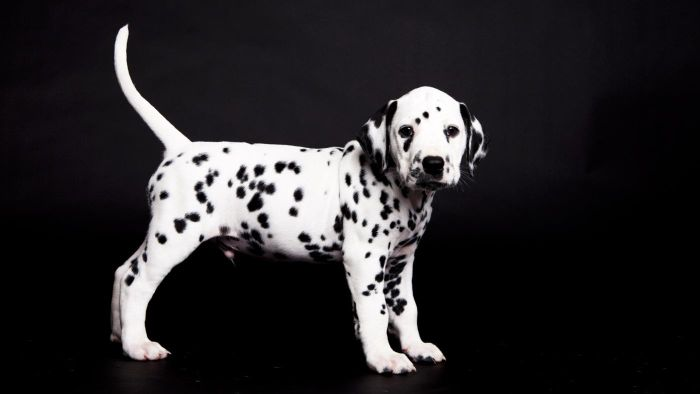 How Big Are Miniature Dalmatians?