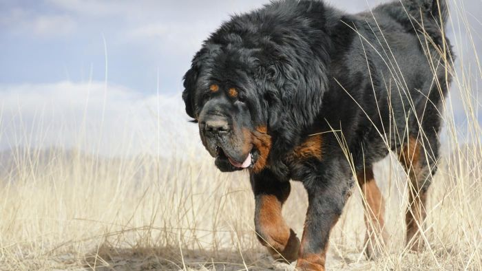 How Big Is a Tibetan Mastiff?