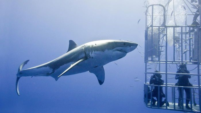 What Is the Biggest Great White Shark Ever Seen?