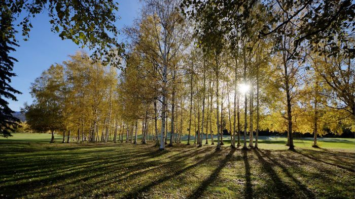 What are some birch tree facts?