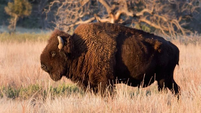 Are Bison and Buffalo the Same Thing?