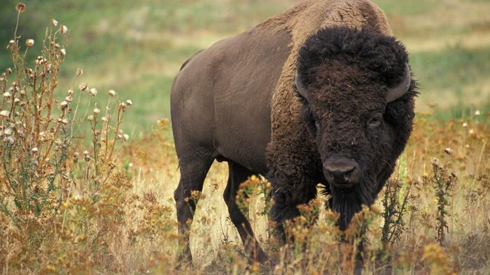 Where Do Bison Live?