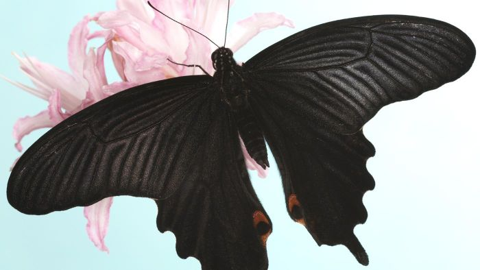 What Does a Black Butterfly Symbolize?