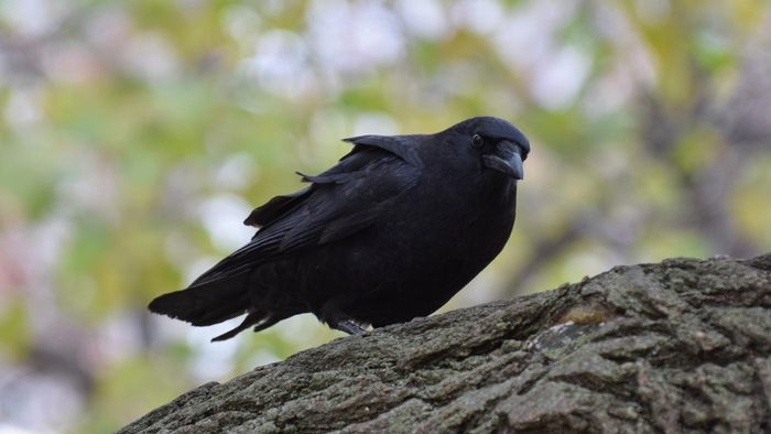 What does a black crow symbolize?