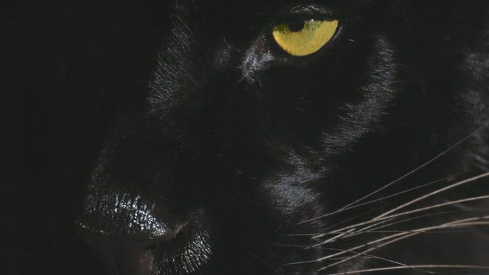 What Are Some Facts About Black Jaguars?