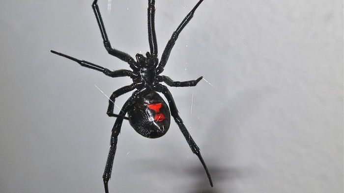 What Does Black Widow Venom Do When You Are Bitten?
