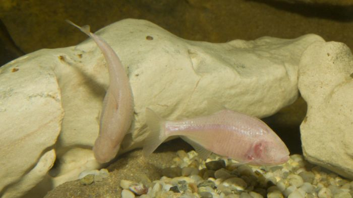 What Does the Blind Cave Fish Eat?