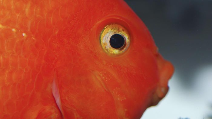 What Is a Blood Red Parrot Cichlid?