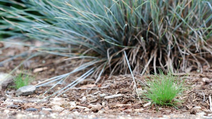 What is a blue fescue?