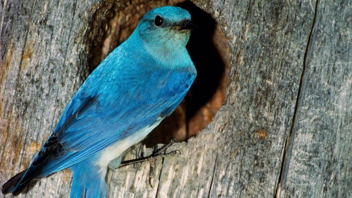 What Does A Bluebird Symbolize Reference