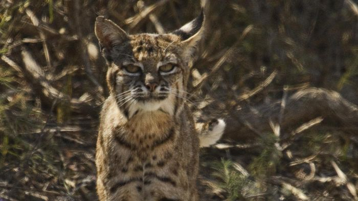 How Do Bobcats Survive?