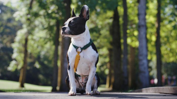 What does a Boston Terrier and Bulldog mix look like?