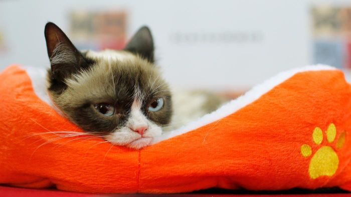 What Breed of Cat Is Grumpy Cat?