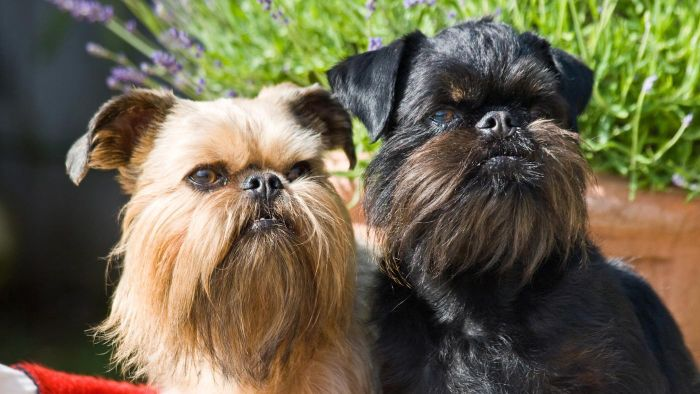 Does a Brussels Griffon Have a Smooth Coat?