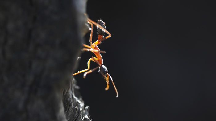 What Is a Bull Ant?