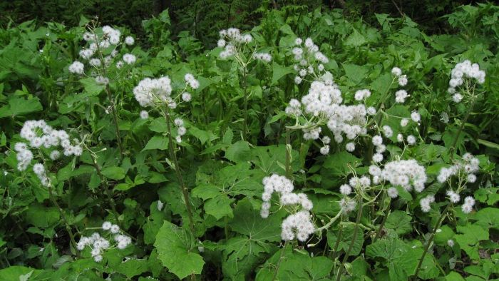 What Is a Butterbur Plant?