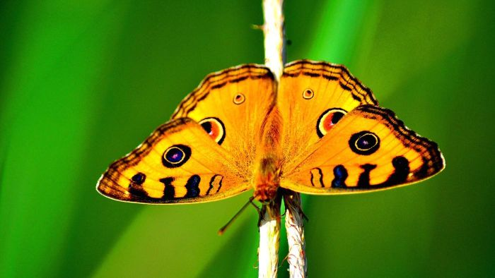 How do butterflies protect themselves?