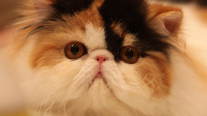 What Is a Calico Persian?