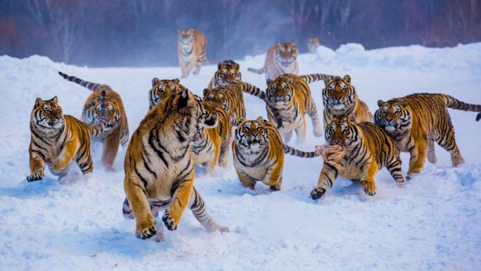 What Do You Call a Group of Tigers?