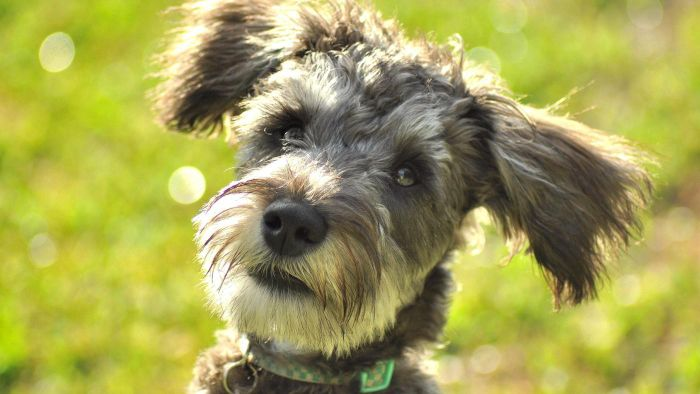 What Do You Call a Schnauzer and Poodle Mix?
