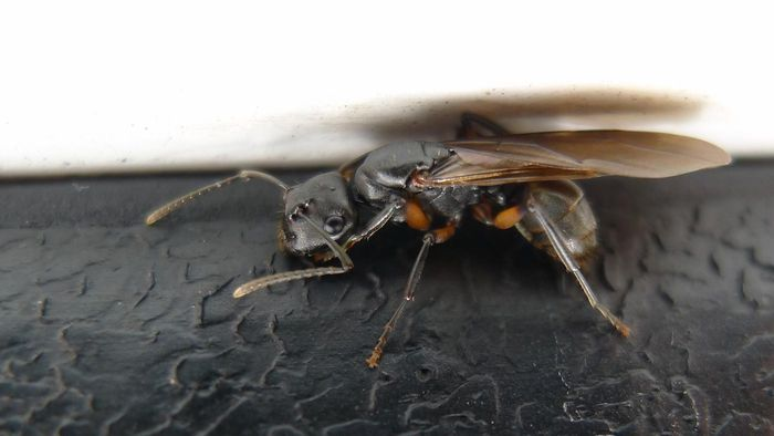 Can Ants Fly?