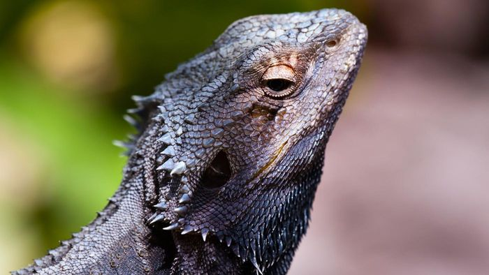 Can Baby Bearded Dragons Eat Vegetables?