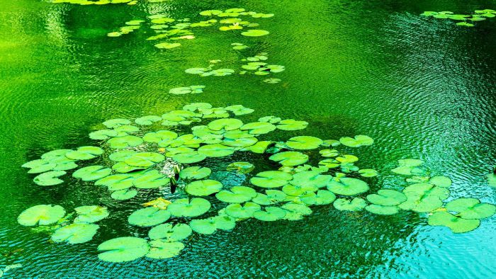 How Can I Take Care of Lily Pads?