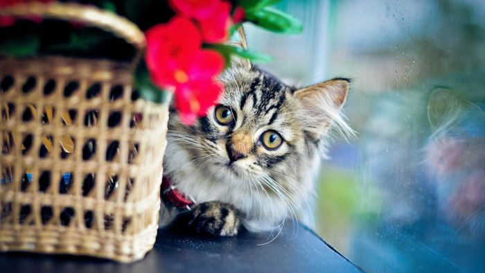 Can Cats Have Asthma?