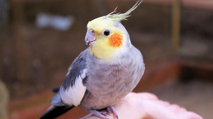 Can Cockatiels Talk?