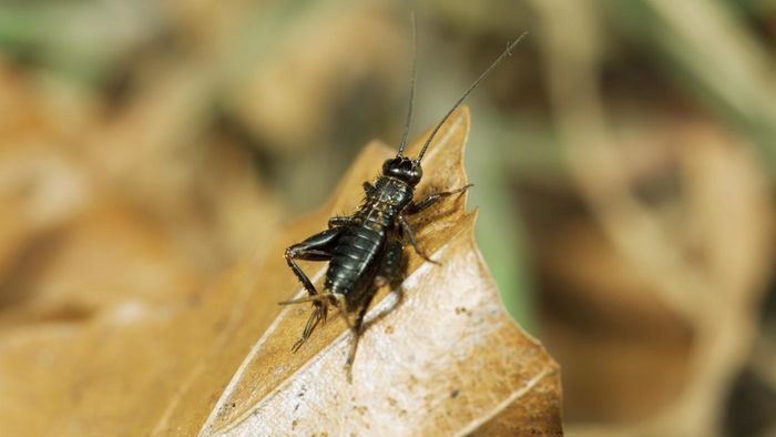 Can Crickets Damage My Home?