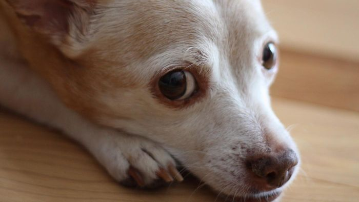 Can dogs take cough medicine?