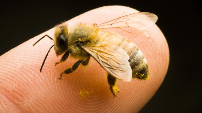 What Can I Do to Ease the Pain of a Bee Sting?