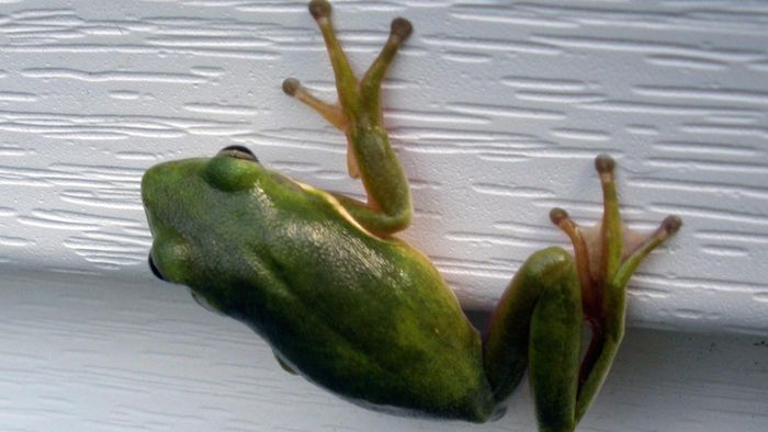 Can Frogs Grow Back Lost Limbs?