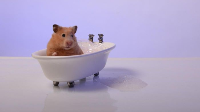 Can You Give Hamsters a Bath?
