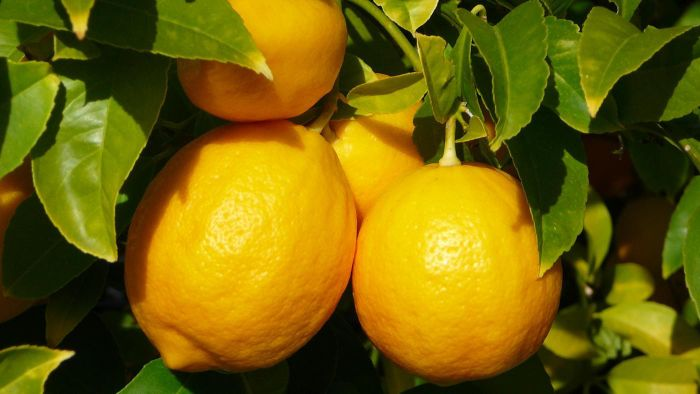 Can You Grow Lemon Trees in Pots?